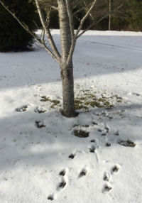 Deer tracks to dinner, an Atlas Blue Cedar.