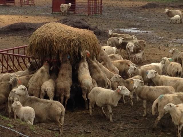 sheep April 2014